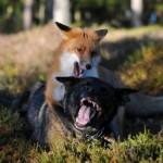 Бешеная лиса напала на домашнюю собаку