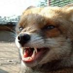 В Кирове нашли труп бешеной лисицы