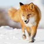В Вятскополянском районе убили бешеную лисицу