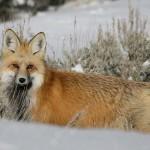 В Заречном парке бешеная лиса напала на ребенка