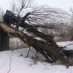 В области упавшее дерево убило мужчину