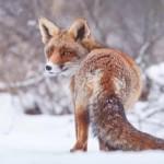 Кировскую область атакуют бешеные лисицы