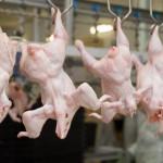В мясе птицы на кировских птицефабриках обнаружены запрещенные препараты