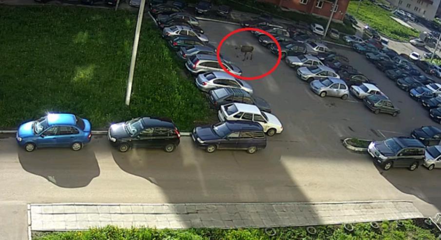 лось во дворе