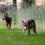 С начала года в области отстреляно более 150 волков