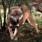 В Кировской области волк напал на грибника