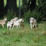 В поселке области волки утащили 30 псов