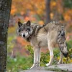 За 9 месяцев 2017 года в охотничьих угодьях Кировской области добыто 184 волка