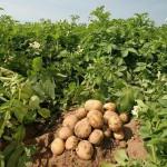 Россельхознадзор назвал районы Кировской области, в которых приусадебные участки заражены паразитами