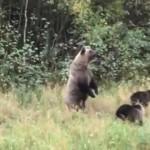 Медведица с тремя детёнышами попала на видео: охотнадзор опубликовал кадры кормления на овсяном поле