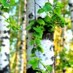 Вятский лес не подошел для китайских палочек