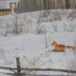 В Свечинском районе бешеная лиса забежала в село