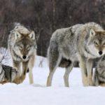 В Котельничском районе уничтожили стаю волков