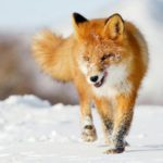 В Советском районе у добытой лисы выявили бешенство