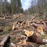 В Омутнинском районе «черные лесорубы» нанесли ущерб лесному хозяйству на сумму более 1,3 млн рублей: возбуждено уголовное дело