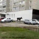 В Кирове по улице гулял лось