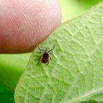 За последнюю неделю в Кировской области зарегистрировано более 1300 случаев укусов клещей