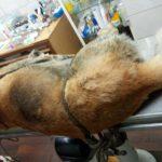 В Котельниче удалось спасти изрубленную топором собаку