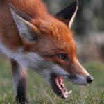 С начала года в Кировской области зафиксировано 2054 случая укуса дикими животными