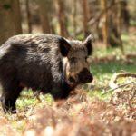 У границ Кировской области добыли кабана, зараженного вирусом африканской чумы свиней