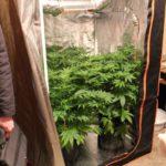 В Кирове мужчина выращивал на съемной квартире коноплю и галюциногенные грибы