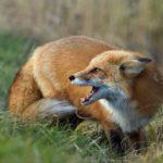 В Кировской области нашли бешеную лису