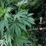 В Подосиновском районе мужчина выращивал в лесу марихуану: демьяновец построил теплицу в 10 километрах от поселка