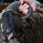 В Кирово-Чепецком районе мужчина украл с фермы 12 баранов