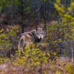 Охотнадзор назвал количество волков в районах Кировской области
