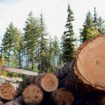 В Верхнекамском районе осудили руководителя лесозаготовительного предприятия за незаконную рубку леса: приговор вступил в силу