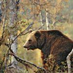 В Омутнинском районе выдали лицензию на отстрел медведя, который в августе загрыз грибника