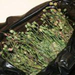 В Фаленках местный житель собрал у заброшенного дома мак, содержащий наркотические средства