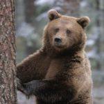В Пижанском районе медведь напал на человека