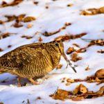 На территории Кировской области закрылась охота на водоплавающую дичь и вальдшнепа