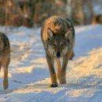 В Лузе волки задирают домашних собак: трупы животных находят на улицах города