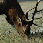 31 декабря в Кировской области завершается сезон охоты на лося: охотники обязаны сдать разрешения на отстрел животного