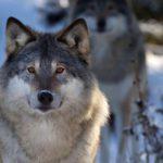 В Кильмезском районе охотники ликвидировали волчью стаю