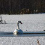 Охотинспектор из Омутнинского района спас раненого лебедя