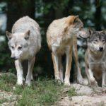 В 2018 году в Кировской области добыли 299 волков