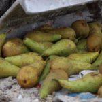 В Кирове раздавили больше тонны санкционных груш, шампиньонов и баклажанов