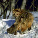 В Пижанском районе обнаружили лису, больную бешенством