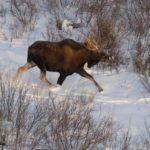 В Свечинском районе мужчина незаконно добыл лося