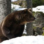 21 марта в Кировской области открылся сезон охоты на бурого медведя