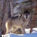 С начала сезона в Кировской области добыт 171 волк