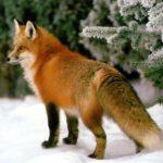 Роспотребнадзор: Кировская область остается неблагополучной по бешенству животных