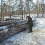 В Лузском районе осуждённый лесоруб возместил причиненный ущерб на сумму более 300 тысяч рублей