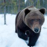 В Минлесхозе Кировской области предупреждают о весенней активности медведей