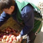 В Кирове раздавили более тонны санкционных яблок, баклажанов и дынь