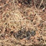 В Кирове обнаружили целый клубок змей на улице