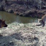 В Котельничском районе жители встретили рысь